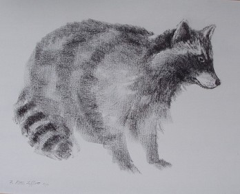 Raccoon, charcoal on paper 18x24